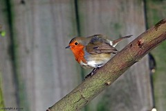 Robin J78A1895 (M0JRA) Tags: birds robins wildlife parks doncaster people visitors animals lions tigers cats keepers otters otts