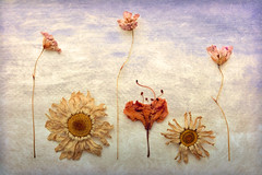 Dancing Class (shawn~white) Tags: innocent ©shawnwhite bliss fun idyllic joy nostalgia playful quirky texture stilllife flower floral dried daisy daisies cute