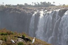 Western Cattle Egrets (bibulous ibis) in front of Victoria Falls (Paul Cottis) Tags: victoriafalls waterfall zimbabwe paulcottis 27 june 2019 scenery view bird heron egret