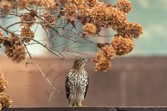 Mabel.. there's no food here!! (Dotsy McCurly) Tags: hawk raptor big bird yard fence treehydrangea nj newjersey nature beautiful nikond750 nikonafsnikkor200500mmf56eedvr