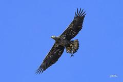 Bald Eagle with a fish (jt893x) Tags: 150600mm americanbaldeagle baldeagle bif bird d500 eagle fish haliaeetusleucocephalus jt893x juvenile nikon nikond500 raptor sigma sigma150600mmf563dgoshsms