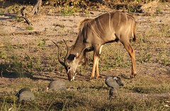 Greater Kudu licking minerals beside the river surrounded by Helmeted Guineafowl (numida meleagris) (Paul Cottis) Tags: chobe botswana africa paulcottis 25 june 2019 evening mammal antelope greater kudu bird game guineafowl