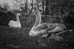 Getting big (John Campbell 2016) Tags: youngmuteswan muteswan swans beautifulcreatures beautifulbirds wildlifephotography lovewildlife wildlifephoto scottishwildlife beautifulbigbird magesticcreatures birdoftherealm