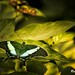 Papilio Palinurus (r.pedroni.69) Tags: animal animals butterflygallery butterfly butterflymacro canoneos6dmarkii macrophotography macrodreams macro macrosgroup insects insect papillon