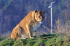 J78A1866 (M0JRA) Tags: wildlife parks doncaster people visitors animals lions tigers cats keepers otters otts