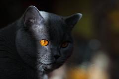 Antonio (Сonstantine) Tags: animals antonio canon catslife catsoftheworld catscatscats cats cat british britishcats bokeh meowmeow meow meowbox photo pic portrait