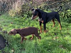Dobies In The Garden - Saxon And Puppy Keiser (firehouse.ie) Tags: pinschers pinscher dobermanns dobermann dobermans dobermand doberman dobey dobies dobie dobes dobe k9 canine dogs dog animals animal