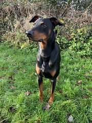 Dobies In The Garden - Saxon (firehouse.ie) Tags: pinschers pinscher dobermanns dobermann dobermans doberman dobeys dobey dobies dobie dobes dobe k9 animal animals dogs dog