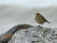 Photo of Rock Pipit