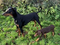 Doberman Pinscher Saxon Taking Puppy Kaiser For A Walk (firehouse.ie) Tags: