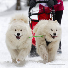 Samoyed (My Planet Experience) Tags: samoyed samoyede snowdog sleddog sled dog snow animal white winter nordic nenets eskimo musher sport race myplanetexperience wwwmyplanetexperiencecom