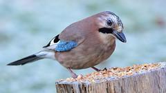 DSC_9674 Geai des chênes (sylvette.T) Tags: givre geai animal oiseau bird 2019 froid jay hiver coth5 sunrays5 garrulusglandarius