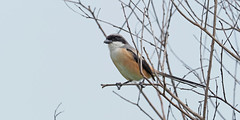Long-tailed Shrike (ChongBT) Tags: nature natural wild life wildlife animal bird avian watching ornithology birdwatching olympus malaysia shrike rufousbacked lanes schach long tailed longtailed rufous backed twigs branch perch perching