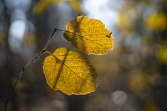 Herfst bokeh . (look to see) Tags: bokeh bokehlicious herfst fall autumn vintagelens jupiter35cmf15 ussr delaak beek bree belgium 2019