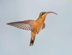 Rufous Breasted Hermit Hummingbird, Trinidad. (pedro lastra) Tags: hummingbird trinidad colombia florida flight macro tropical bird america trochilidae aves chordata apodiformes