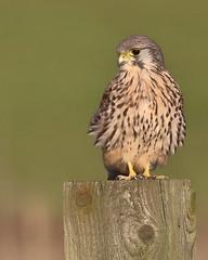 Kestrel on fence post (robin denton) Tags: falcotinnunculus wildlife kestrel birdofprey bird falcon nature yorkshire