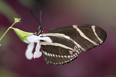 Butterfly 2019-183 (michaelramsdell1967) Tags: butterfly butterflies nature macro animal animals insect insects flower green red black white bokeh upclose closeup beauty beautiful pretty lovely vivid vibrant detail delicate fragile garden bug bugs wings zen nikon
