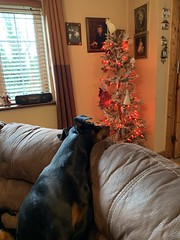 It's Christmas Time - Doberman Pinscher Saxon And The Christmas Tree - December 2019 (firehouse.ie) Tags: 2019 december advent christmas saxon chiens leschiens chien pinschers pinscher dobermanns dobermann dobermans doberman dobies dobie dobeys dobey dobes dobe dogs dog