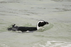 African Penguin-7D2_7270-001 (cherrytree54) Tags: canon7dmkii sigma 150600 penguin south africa