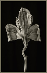 Flowers #29 2019; A Wiggle in the Stem (hamsiksa) Tags: plans flora angiosperms floweringplants flowes blooms blossoms stems botanicals horticultre cutflowers stilllife botanicalstilllife botanicalphotography blackwhite petals studio studiophotography
