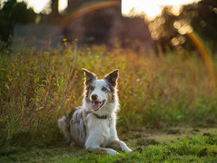 Field of dreams (FireDevilPhoto) Tags: dog pets animal outdoors purebreddog nature cute mammal canine grass domesticanimals puppy summer friendship looking oneanimal younganimal portrait running bordercollie redmerle sony a9 7artisans flare rainbow wildflower sunset bokeh