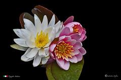 I COLORI DELLA NATURA. (Salvatore Lo Faro) Tags: nature natura fiore loto bianco rosso giallo verde salvatore lofaro nikon 7200