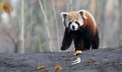 Der süsse Flinn beim Spaziergang (babsbaron ( Bella )) Tags: canon nature naturfotografie naturephotographie tiere tierfotografie animals animalphotographie säugetiere mammals raubtiere predators panda klein little rot red zoo erlebniszoo hannover