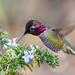 Anna's Hummingbird (male) feeding on Rosemary blossoms