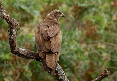 Black Kite --- Milvus migrans (creaturesnapper) Tags: blackkite milvusmigrans birds birdsofprey spain europe monfraguenationalpark extremadura
