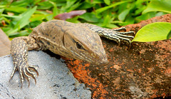Leguaan/ Iguana (Meino NL) Tags: iguana leguaan reptiel reptile srilanka varaan schubreptielen squamata animalia reptilia varanidae
