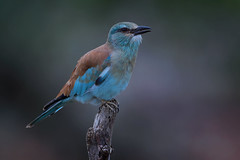 European Roller (leendert3) Tags: select leonmolenaar southafrica krugernationalpark wildlife wilderness wildanimal nature naturereserve naturalhabitat bird europeanroller