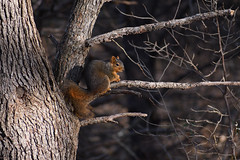 What'cha Doing? (Abu Dabu) Tags: squirrel rodent mammal d7500 nature tree ngc