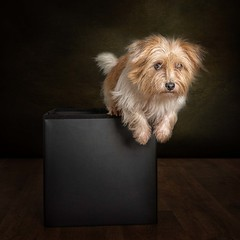 Jack Out of a Box (Chris Willis 10) Tags: will myrtle star studio dog pets animal purebreddog canine mammal domesticanimals puppy cute brown oneanimal looking sitting small nopeople indoors studioshot fur copyspace jackrussell jumping box