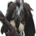Lappet-faced vulture, Torgos tracheliotos, at Kruger National Park, South Africa.