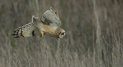Short-Eared Owl - Going 'in' (Ann and Chris) Tags: shortearedowl owl stunning diving dive flight awesome close hunting impressive wild
