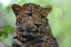 Amur leopard - Tierpark Hagenbeck (Mandenno photography) Tags: animal animals dierenpark dierentuin dieren zoo tierpark tierparkhagenbeck hagenbeck hamburg duitsland germany ngc nature natgeo natgeographic bbcearth bigcat big cat cats bbc discovery