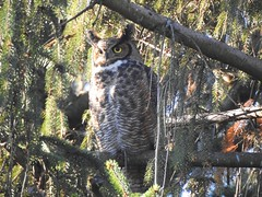 Out of Sight (Anton Shomali - Thank you for over 3 million views) Tags: wild wildlife great horned owl big bird blue sky sitting top world norway spruce tree woods wings nose ears head eyes branches branch trees nature outdoor outside nikon coolpix p900 greathornedowl bigbird deepinthewood