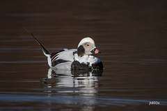 Long-tailed Duck (jt893x) Tags: 150600mm bird clangulahyemalis d500 drake duck jt893x longtailedduck male nikon nikond500 nonbreeding sigma sigma150600mmf563dgoshsms waterfowl