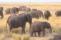 Elephant Assemblage (peterkelly) Tags: digital canon 6d africa intrepidtravel capetowntovicfalls botswana chobenationalpark grassland elephant choberiver savannaelephant herd savannahelephant