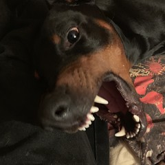 Doberman Pinscher Saxon - Your Worst Nightmare (Intruders Beware) (firehouse.ie) Tags: dog dogs doberman pinscher dobe dobermann dobey dobermans dobes pinschers dobermanns dobeys canine k9