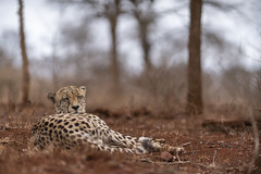 Cheeta - Zimanga - South-Africa (wietsej) Tags: cheeta zimanga southafrica sony a7rii sel55f18z 55 18 animal zeiss