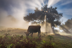 The perfect Moo-ment (Alexander Lauterbach Photography) Tags: madeira fanal forest clouds mood moody cow portugal island travel animal landscape nature fog sony a7r