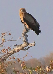 Tawny Eagle On Branch (peterkelly) Tags: digital canon 6d africa intrepidtravel capetowntovicfalls namibia etoshanationalpark bird tree raptor blue sky tawnyeagle