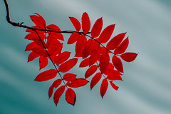 Red leaves with blue sky on the background (wounderful0) Tags: leaf leaves red sky blue autumn fall minimalism twocolors colors redandblue nature object tree season beautifuloutdoor park plant background colorful color bright maple forest branch beauty foliage natural seasonal japan orange beautiful outdoor