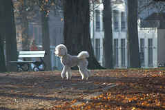 """Dogs leave pawprints on our hearts"" (genevieve van doren) Tags: dog chien autumn automne arbres trees walk promenade bruges brugge"