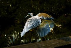 Take off... (Pedro1742) Tags: wings bird takeoff midair