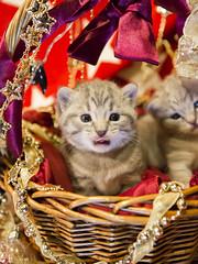 20171203_0504c (Fantasyfan.) Tags: kuunkissan european breed kitten fantasyfanin yule christmas