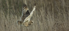 It's down here somewhere! (Ann and Chris) Tags: searching search long grass flying owl shortearedowl close amusing