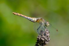 libellula (murtica27) Tags: libellula dragonfly dragonflies sachsen saxony thüringen leinawald depressa plattbauch sony alpha macro makro nature wildlife insekt