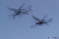 Vol de flamants roses à l'heure bleue (jean-louis21) Tags: camargue flamigo flight blue hour vol
